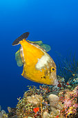 Whitespotted filefish (Cantherhines macrocerus), in the Natural Marine Park of Martinique.