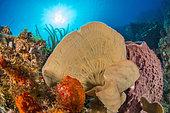 Fan shape of Branching Vase Sponge (Callyspongia vaginalis), in the Natural Marine Park of Martinique.