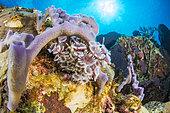 Social feather duster (Bispira brunnea) and Smooth tube sponge (Callyspongia fallax), Natural Marine Park of Martinique