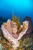 Azure Vase Sponge (Callyspongia plicifera), on reef, in the Natural Marine Park of Martinique.