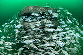 Shoal of Poutings (Trisopterus luscus), around a submerged artificial reef off the island of Oléron, Charente-Maritime, New-Aquitaine, France.