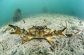 Mediterranean green crab (Carcinus aestuarii), in the Thau Lagoon, Marseillan, Hérault, Occitania, France.