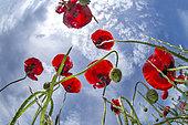 Poppies (Papaver rhoeas), Saint-Aunès, Hérault, Occitania France