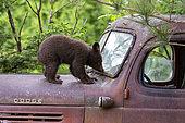 Baby black bear (Ursus americanus) on a old car, Minnesota, United States