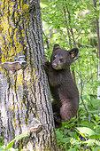 Baby black bear (Ursus americanus) on a trunk, Minnesota, United States