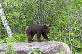 Baby black bear (Ursus americanus) on a rock, Minnesota, United States