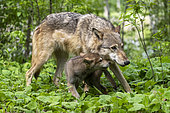 Grey Wolf (Canis lupus), adult with young, Minnesota, United Sates