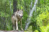 Grey Wolf (Canis lupus), adult, Minnesota, United Sates
