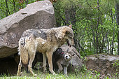 Grey Wolf (Canis lupus), adult with youngs, Minnesota, United Sates