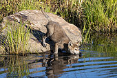 Grey Wolf (Canis lupus), Young going in water, Minnesota, United Sates