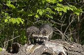 Raccoon (Procyon lotor) in a tree, captive, Minnesota, United Sates
