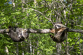 Raccoon (Procyon lotor) playing in a tree, captive, Minnesota, United Sates