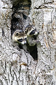 Raccoon (Procyon lotor) in a hole of a tree, captive, Minnesota, United Sates
