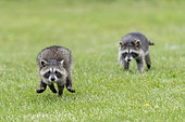 Raccoon (Procyon lotor) running in the grass, captive, Minnesota, United Sates