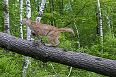 Cougar (Puma concolor) on a trunk, Minnesota, United Sates