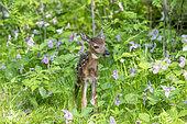 White tailed Deer (Odocoileus virginianus), baby, Minnesota, United States