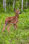 White tailed Deer (Odocoileus virginianus), baby captive, Minnesota, United States