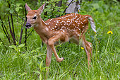 White tailed Deer (Odocoileus virginianus), baby captive, Minnesota, United States