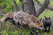 Red Fox (Vulpes vulpes), Adult with young, Minnesota, United Sates