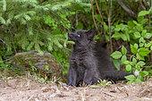 Silver Fox (Vulpes vulpes), young, Minnesota, United Sates