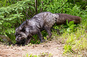 Silver Fox (Vulpes vulpes), Adult, Minnesota, United Sates