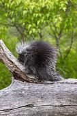 North American Porcupine (Erethizon dorsatum), Minnesota, United States