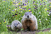 Groundhog or Woodchuck (Marmota monax) with young, Minnesota, United Sates