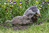 Groundhog or Woodchuck (Marmota monax) with youngs, Minnesota, United Sates