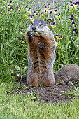 Groundhog or Woodchuck (Marmota monax) standing, Minnesota, United Sates
