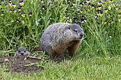 Groundhog or Woodchuck (Marmota monax) near burrow, Minnesota, United Sates