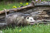 Virginia opossum or North American opossum (Didelphis virginiana), Minnesota, United Sates