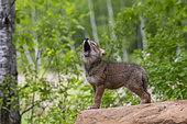 Coyote (Canis latrans), Young, Howling,Minnesota, United States,