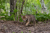 Coyote (Canis latrans), young, Minnesota, United States,