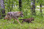Coyote (Canis latrans), Adult and young, Minnesota, United States,