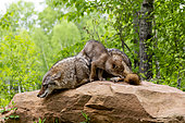 Coyote (Canis latrans), Adult with young, Minnesota, United States,