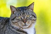 Domestic cat (Catus domesticus) portrait, Minnesota, United States