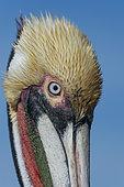 Brown pelican (Pelicanus occidentalis) Baja California Sur Mexico.