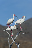 White ibis (Eudocimus albus) on dead tree, Isla Sta Margarita, BCS, Mexico.
