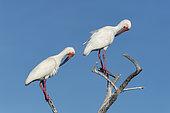 White ibis (Eudocimus albus) Isla Sta Margarita BCS Mexico.