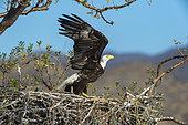 Bald eagle (Haliaeetus leucocephalus) Adult eagle and chick on nest BCS Mexico.