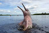Amazon dolphin (Inia geoffrensis) on the water surface, half looking out of the water, Acajatuba Lake, Amazon region, Brazil, South America