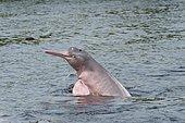 Amazon River Dolphin, Boto or Pink Amazon Dolphin (Inia geoffrensis), Rio Negro, Manaus, Amazonas State, Brazil, South America