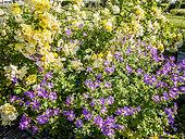 Rosa 'Liane Foly' , Geranium 'Nimbus'