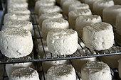 Goat cheese, cheese dairy, Ligny farm, Melin, Haute Saone, France