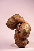 Sweet potato (Ipomoea batatas), vegetable from organic farming, animal form, market gardener, France