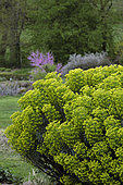 Spurges, Lilaveronica garden in spring, Thanville, Bas Rhin, France