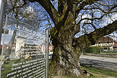 Le Tilleul de Turenne, small-leaved lime (Tilia cordata), over 700 years old, labeled Remarkable Tree of France, place, Fontaine, Territoire de Belfort, France