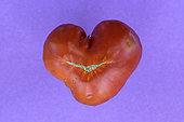 Tomato (Solanum lycopersicum), heart-shaped, vegetable garden, Belfort, France
