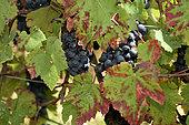 Vine (Vitis vinifera), Franche Comte grape variety, Black crow, conservatory vine, Champagne-sur-Loue, Jura, France