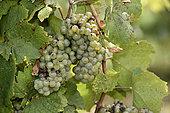Vine (Vitis vinifera), Franche Comte grape variety, Melon Blanc, conservatory vine, Champagne-sur-Loue, Jura, France
